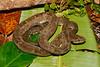 EL Colubroidea Viperidae Crotalinae<br /> Bothrops atrox<br /> South American Fer-de-Lance<br /> Madre Selva<br /> Specimen #2<br /> 2016