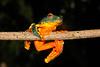 BC Hylidae Phyllomedusinae<br /> Cruziohyla craspedopus<br /> Amazon Leaf Frog<br /> Madre Selva<br /> 2016