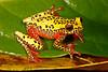 BC Hylidae Hylinae<br /> Dendropsophus triangulum<br /> Variable Clown Treefrog<br /> Santa Cruz<br /> Specimen #4<br /> 2016
