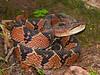 EL Colubroidea Viperidae Crotalinae<br /> Lachesis muta<br /> South American Bushmaster<br /> Santa Cruz<br /> Specimen #1<br /> 2016