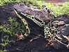 BA Bufonidae<br /> Atelopus spumarius<br /> Amazon Harlequin Toad<br /> Madre Selva (Iphone)<br /> 2017