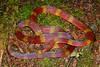 EI Colubroidea Elapidae Elapinae<br /> Micrurus langsdorffi<br /> Langsdorff's Coral Snake<br /> Santa Cruz<br /> 2018