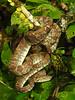 ED Booidea Boidae Boinae<br /> Corallus hortulanus<br /> Amazon Tree Boa<br /> Madre Selva<br /> Specimen #1<br /> 2018
