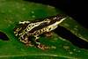 BA Bufonidae<br /> Atelopus spumarius<br /> Amazon Harlequin Toad<br /> Madre Selva<br /> 2018