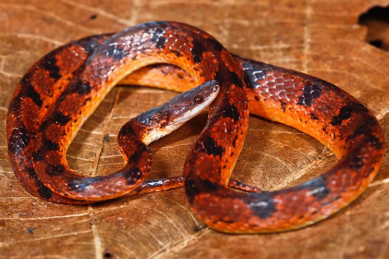 EEF Colubroidea Dipsadidae<br /> Xenopholis scalaris<br /> Flat Headed Snake<br /> Santa Cruz<br /> 2018