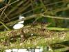 DA Iguania Iguanidae Dactyloidae<br /> Anolis gundlachi<br /> Yellow-chinned Anole<br /> El Junque<br /> 2014