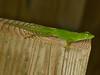 DA Iguania Iguanidae Dactyloidae<br /> Anolis evermanni<br /> Puerto Rican Emerald Anole<br /> El Junque<br /> 2014