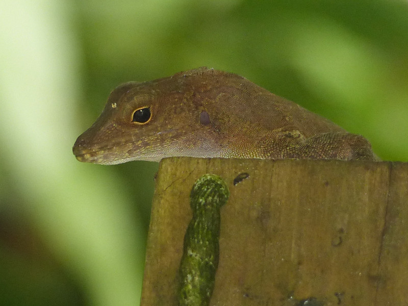 DA Iguania Iguanidae Dactyloidae<br /> Anolis cristatellus<br /> Puerto Rican Crested Anole<br /> El Junque<br /> 2014