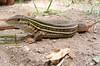DCD Scincomorpha Teiidae<br /> Aspidoscelis costata<br /> Western Mexico Whiptail<br /> Alamos