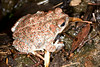 BA Bufonidae<br /> Anaxyrus punctatus<br /> formerly Bufo punctatus<br /> Red Spotted Toad<br /> Yecora