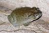 BA Bufonidae<br /> Incilius alvarius<br /> Sonoran Desert Toad<br /> Alamos