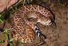 EL Colubroidea Viperidae Crotalinae<br /> Crotalus atrox<br /> Western Diamondback Rattlesnake<br /> Alamos<br /> 2012