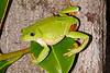 BC  Hylidae Phyllomedusinae<br /> Pachymedusa dacnicolor<br /> Mexican Leaf Frog<br /> Alamos<br /> 2012