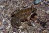 BG Leptodactylidae<br /> Leptodactylus melanonotus<br /> Sabinal Frog<br /> Alamos<br /> 2012