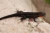 DA Iguania Iguanidae Phrynosomatidae<br /> Urosaurus bicarinatus<br /> Tropical Tree Lizard<br /> Alamos<br /> 2012