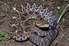 EL Colubroidea Viperidae Crotalinae<br /> Crotalus basiliscus<br /> Mexican West Coast Rattlesnake<br /> Alamos<br /> Specimen #1<br /> 2012
