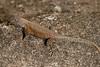 DA Iguania Iguanidae Phrynosomatidae<br /> Sceloporus nelsoni<br /> Nelson's Spiny Lizard<br /> Alamos<br /> 2012