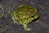 BH Scaphiopodidae<br /> Scaphiopus couchii<br /> Couch's Spadefoot<br /> Alamos<br /> 2012