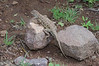 DA Iguania Iguanidae Phrynosomatidae<br /> Holbrookia elegans<br /> Elegant Earless Lizard<br /> Alamos<br /> 2012
