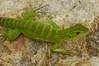 DA Iguania Iguanidae Iguanidae<br /> Ctenosaura macrolopha<br /> Mexican Spiny Tailed Iquana<br /> Juvenile<br /> 2012
