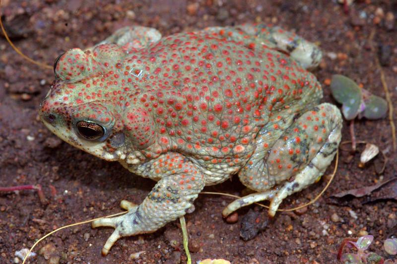 BA Bufonidae<br /> Anaxyrus punctatus<br /> AKA Bufo punctatus<br /> Red Spotted Toad<br /> Alamos<br /> 2012