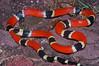 EI Colubroidea Elapidae Elapinae<br /> Micrurus distans distans<br /> Mexican West Coast Coral Snake<br /> Alamos<br /> 2012