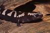 AB Ambystomatidae<br /> Ambystoma opacum <br /> Marbled Salamander<br /> Aiken County