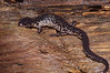 AB  Plethodontidae Plethodontinae<br /> Plethodon chlorobryonis <br /> Atlantic Coast Slimy Salamander<br /> Aiken County