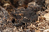 BA Bufonidae<br /> Anaxyrus terrestris <br /> Southern Toad<br /> Spartanburg County<br /> 2016