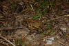 BA Bufonidae<br /> Anaxyrus terrestris <br /> Southern Toad<br /> Georgetown County<br /> 2016