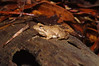 BC Hylidae Hylinae<br /> Acris crepitans crepitans<br /> Northern Cricket Frog<br /> Aiken County