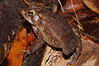 BA Bufonidae<br /> Anaxyrus terrestris <br /> Southern Toad<br /> Aiken County
