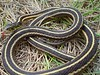 EG Colubroidea Natricidae<br /> Thamnophis sirtalis parietalis<br /> Red Sided Garter Snake<br /> Custer County
