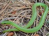 EEB Colubroidae Colubridae<br /> Opheodrys vernalis<br /> Smooth Green Snake<br /> Custer County
