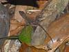 DA Iguania Iguanidae Dactyloidae<br /> Anolis schwartzi <br /> Saint Kitts Bank Bush Anole<br /> St. Kitts<br /> 2015