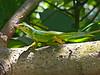 DA Iguania Iguanidae Dactyloidae<br /> Anolis bimaculatus<br /> Statia Bank Tree Anole<br /> St. Kitts<br /> 2015