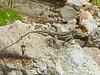 DA Iguania Iguanidae Dactyloidae<br /> Anolis gingivinus<br /> Anguilla Bank Anole<br /> St. Maarten (Dutch side)<br /> 2015