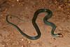 EEB Colubroidae Colubridae<br /> Drymobius margaritiferus margaritiferus<br /> Northern Speckled Racer<br /> Cameron County<br /> Specimen #1<br /> 2014