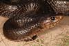 EEB Colubroidae Colubridae<br /> Drymarchon melanurus erebennus<br /> Texas Indigo Snake<br /> Cameron County<br /> Specimen #1<br /> 2014