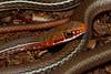 EEB Colubroidae Colubridae<br /> Coluber schotti schotti<br /> Schott's Whipsnake<br /> Victoria County<br /> 2014