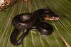 EEB Colubroidae Colubridae<br /> Drymarchon melanurus erebennus<br /> Texas Indigo Snake<br /> Cameron County<br /> Specimen #2<br /> 2014