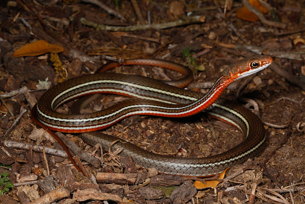 EEB Colubroidae Colubridae Coluber schotti schotti Schott's Whipsnake Victoria County 2014