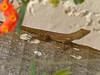 DA Iguania Iguanidae Dactyloidae <br /> Anolis acutus<br /> St. Croix Anole<br /> 2014