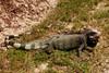 DA Iguania Iguanidae Iguanidae <br /> Iguana iguana<br /> Green Iguana