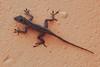 DA Iguania Iguanidae Dactyloidae <br /> Anolis cristatellus<br /> Puerto Rican Crested Anole