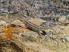 DA Iguania Iguanidae Phrynosomatidae<br /> Sceloporus graciosus gracilis<br /> Northern Sagebrush Lizard<br /> Sweetwater County<br /> 2016