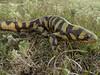 AB Ambystomatidae<br /> Ambystoma mavortium<br /> Tiger Salamander<br /> Platte County<br /> 2016