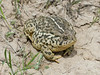 BA Bufonidae<br /> Anaxyrus woodhousii woodhousii<br /> Woodhouse's Toad<br /> Platte County<br /> 2014