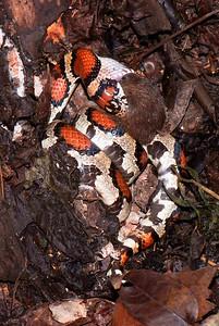 Red Milksnake, woodland vole