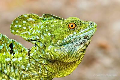 Male Green Basilisk Lizard, Selva Verde, Costa Rica.